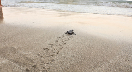 Turtle Hatchlings Released to Sea